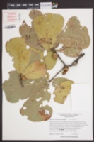 Quercus marilandica image