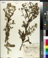 Image of Vernonanthura chaquensis