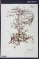 Image of Euphorbia cumulicola