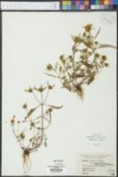Bidens connata var. petiolata image