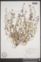 Phacelia dubia var. georgiana image