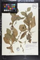 Image of Nicotiana plumbaginifolia