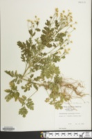 Image of Chrysanthemum parthenium