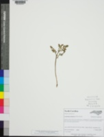 Image of Sceptridium oneidense