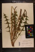 Image of Taraxacum exacutum