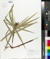 Image of Carex phyllocephala
