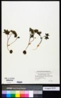 Image of Corydalis intermedia