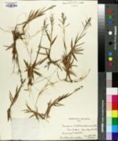 Image of Panicum hillebrandianum
