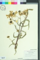 Image of Helianthus floridanus