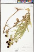 Rudbeckia hirta var. pulcherrima image
