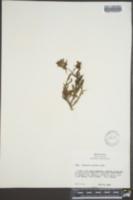 Penstemon procerus image