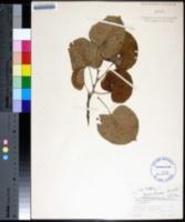 Image of Tilia tomentosa