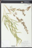 Image of Phyllostachys nidularia
