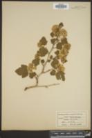 Opulaster opulifolius image