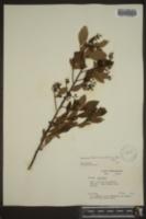 Vaccinium atrococcum image