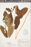 Image of Stellaria nuttallii