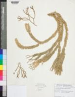 Image of Lycopodium phlegmaria