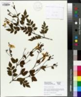 Jasminum polyanthum image