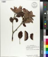 Image of Glochidion marianum