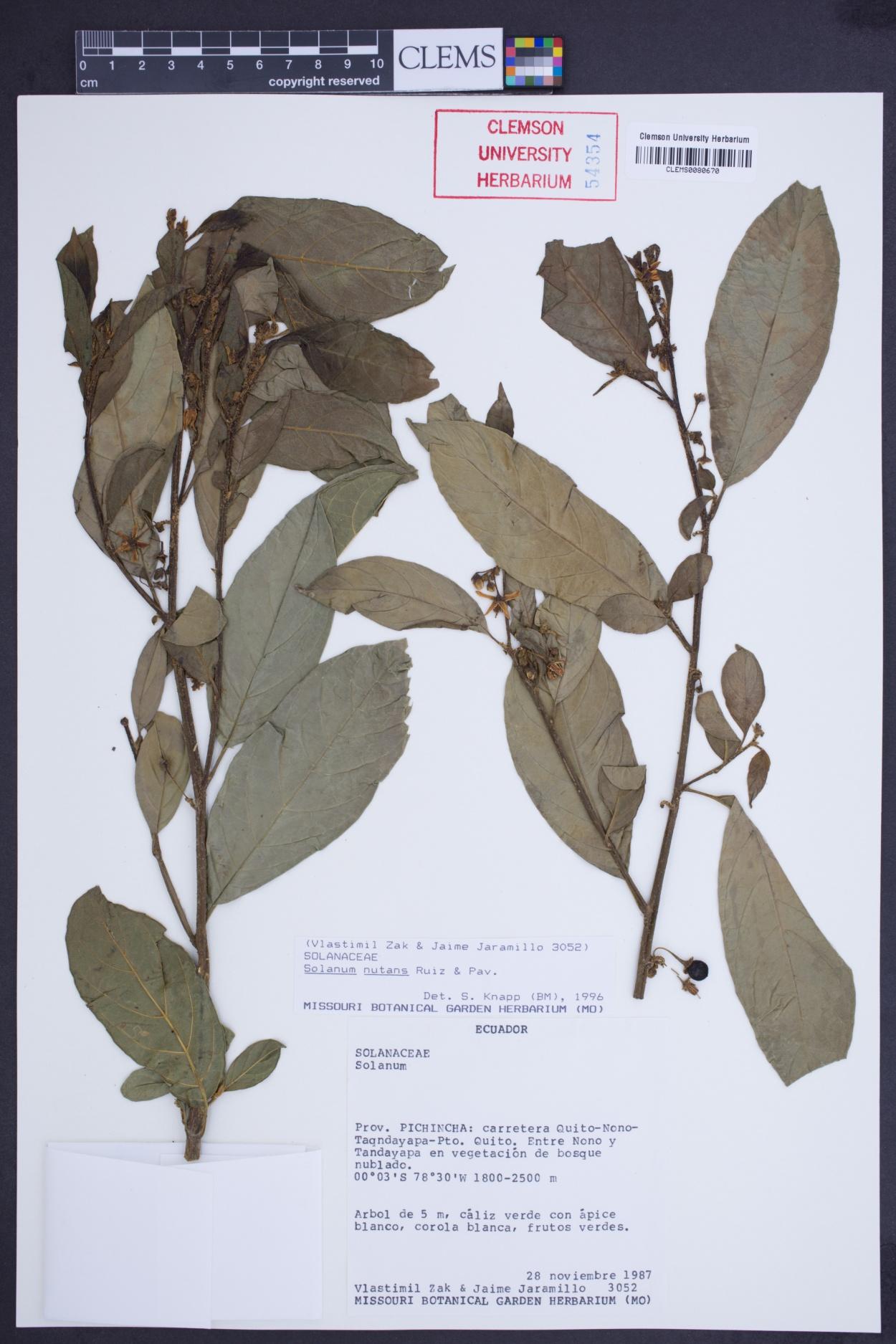 Solanum nutans image