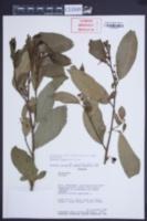 Image of Solanum nutans