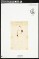 Image of Saxifraga magellanica