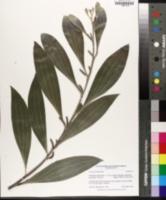 Image of Acacia cowleana