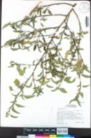 Sida spinosa image
