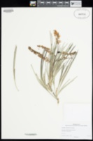 Image of Grevillea calcicola