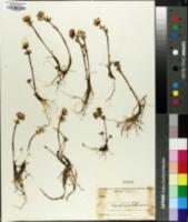 Image of Ranunculus sulphureus