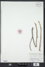 Carya cordiformis image