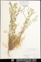 Lepidium perfoliatum image