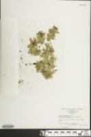 Spirodela polyrhiza image