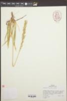 Narthecium californicum image
