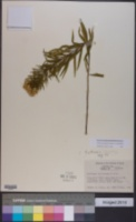 Image of Euthamia hirtipes