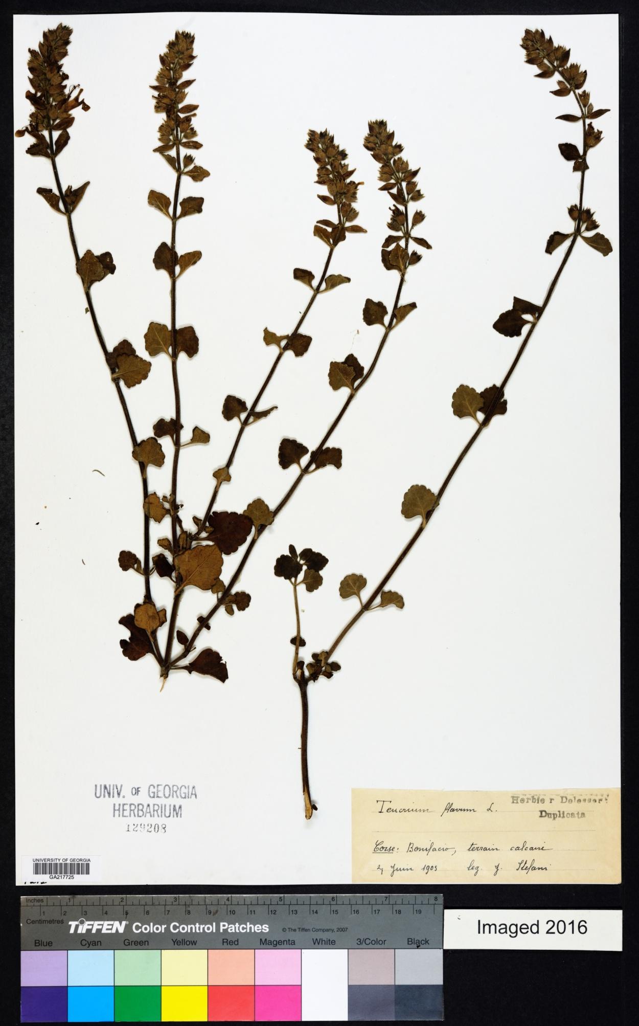 Teucrium flavum image