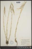Arabis holboellii var. pendulocarpa image