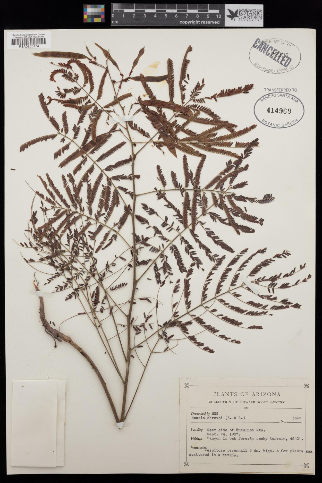 Acacia shrevei image