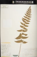 Image of Polystichum balansae