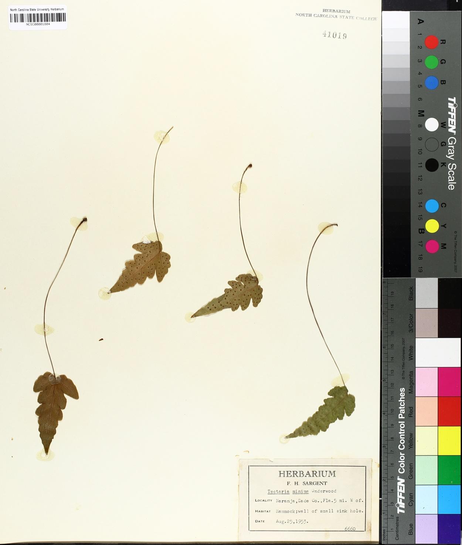 Tectaria image