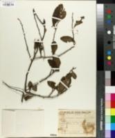 Image of Achatocarpus bicornutus