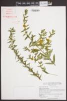 Heimia salicifolia image