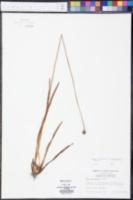 Xyris scabrifolia image