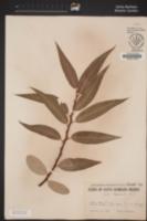 Salix laevigata image