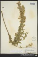 Image of Brickellia cylindracea