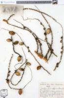 Image of Arecastrum romanzoffianum