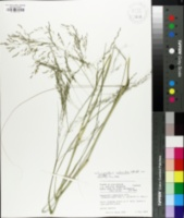 Image of Eragrostis campestris