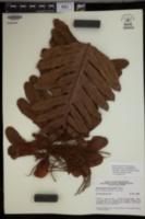 Aglaomorpha meyeniana image