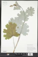 Macleaya cordata image