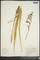 Gladiolus byzantinus image